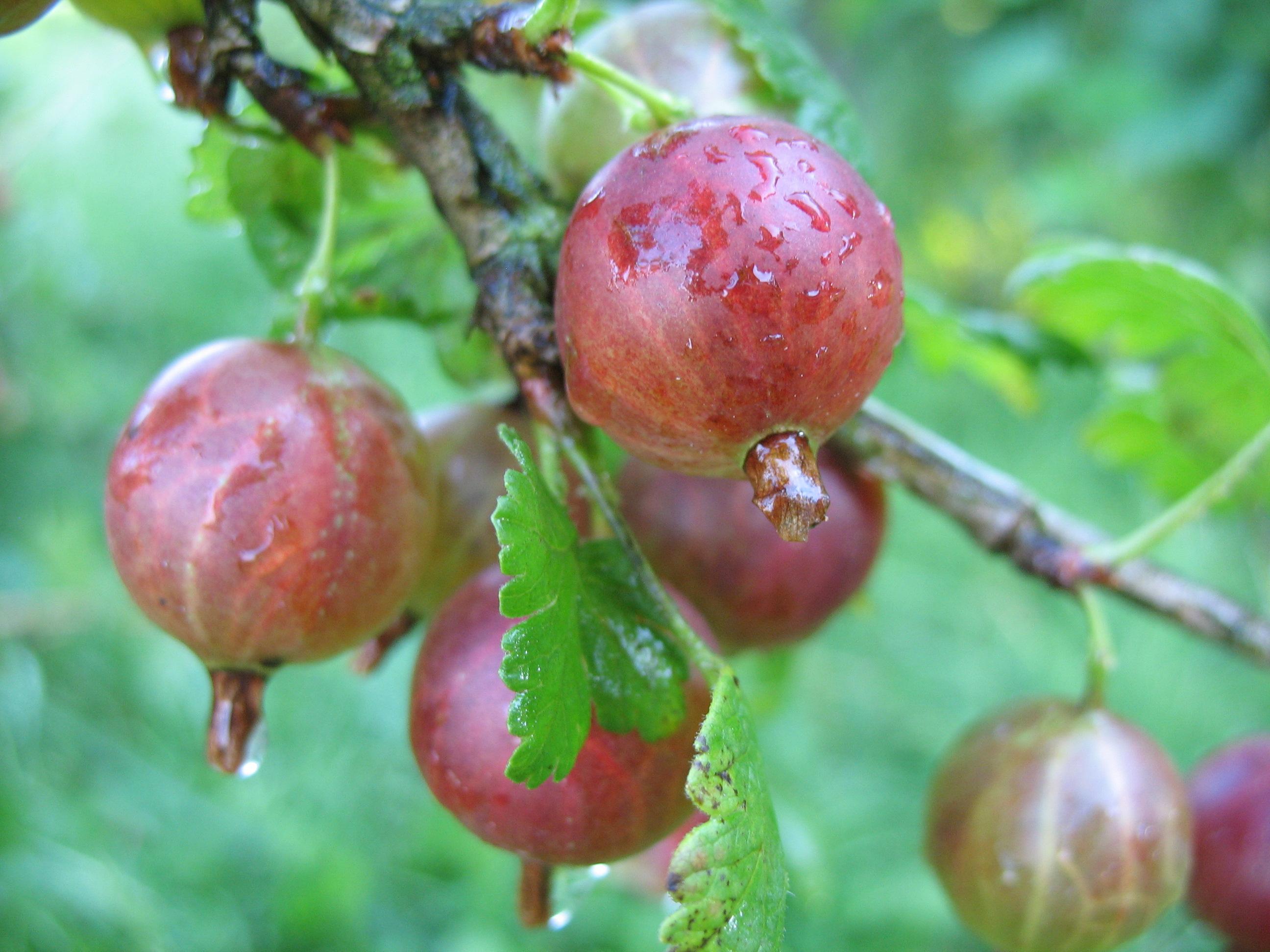 Piante Di Frutti Di Bosco : Frutti di bosco garden
