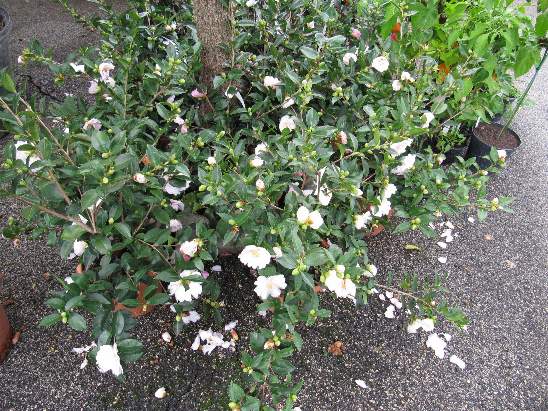 Camellia sasanqua for Camelia pianta