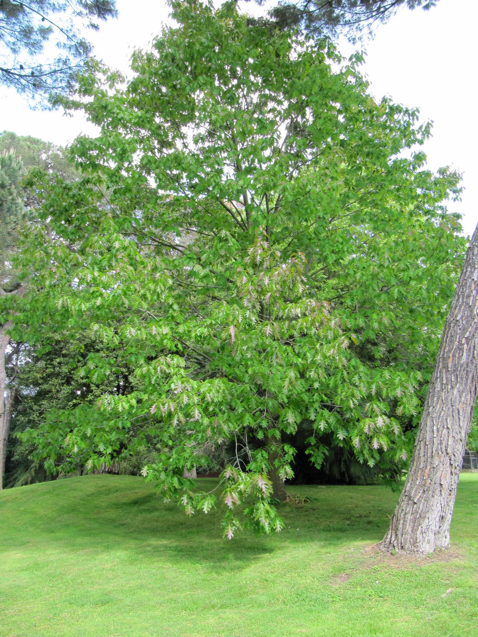 Palazzo patrizi castel giuliano alberi for Alberi simili alle querce