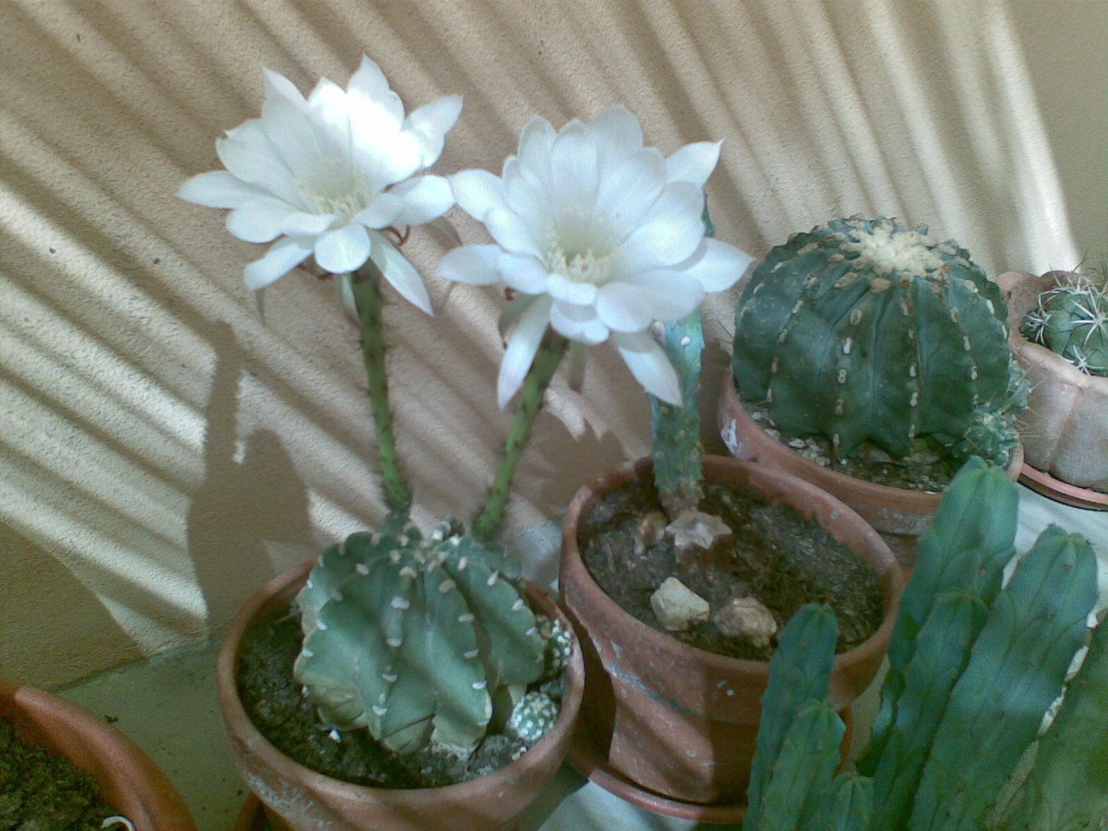 piante grasse in fiore 2  garden.it