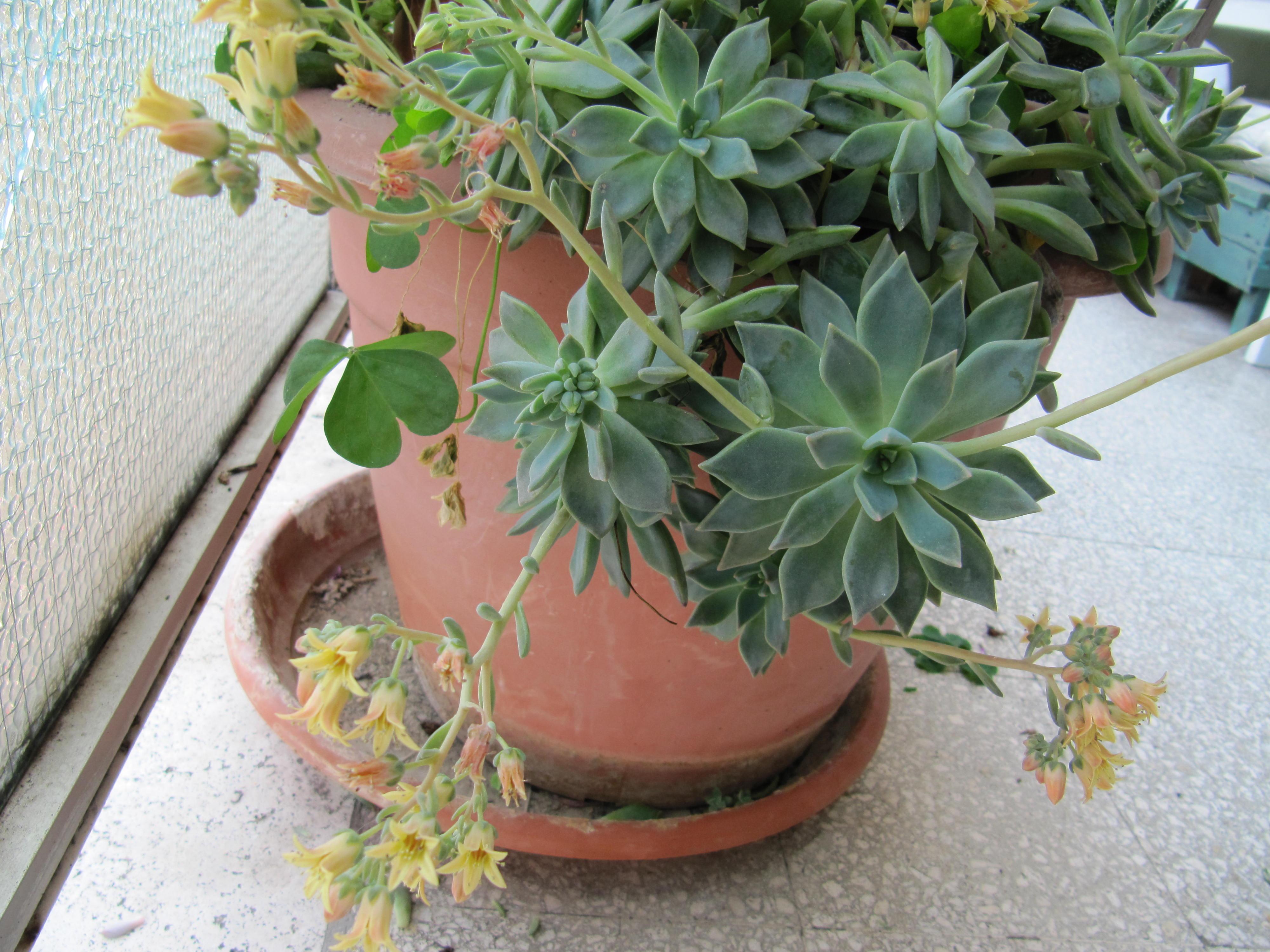 succulente fiorite