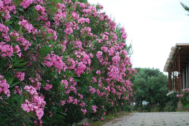 oleandro oleandri : viale di oleandri. garden.it