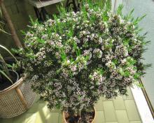 Fiore di cera for Pianta di cera