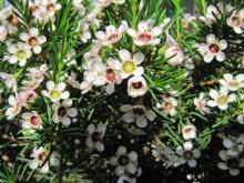 Rosa for Pianta fiori di cera