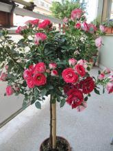 Fiore di cera for Arbusti ad alberello